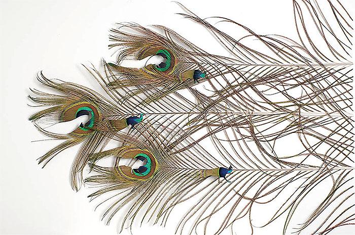 павлинье перо